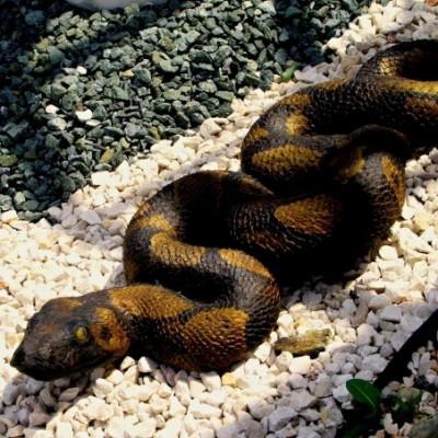 Kígyó kerti dísz...